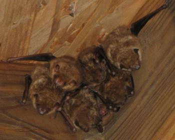 Indiana University Sorority Has Bad Case of Bats